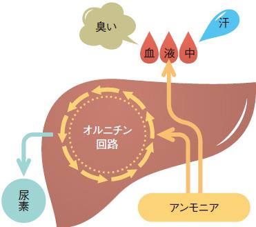 オルニチンのアンモニアサイクル