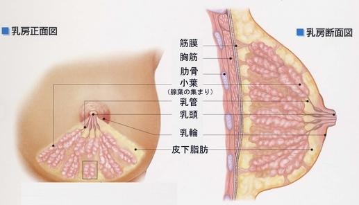 乳房のしくみ