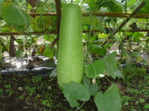 冬瓜に似ている野菜