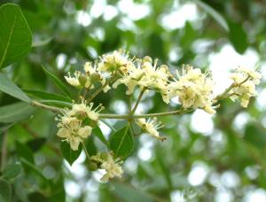 ヘナカラーに使われる植物