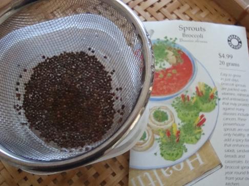 ブロッコリースプラウトの栽培方法-1