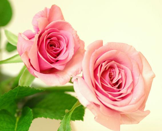 ピンクのバラの意味