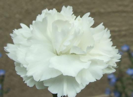 白いカーネーションの花言葉