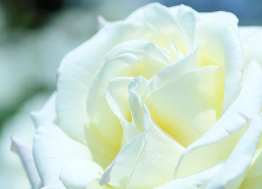 白いバラの意味