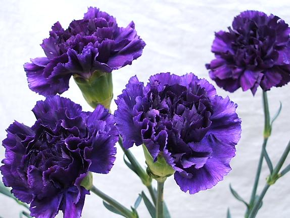 紫のカーネーションの花言葉