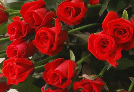 赤いバラの意味
