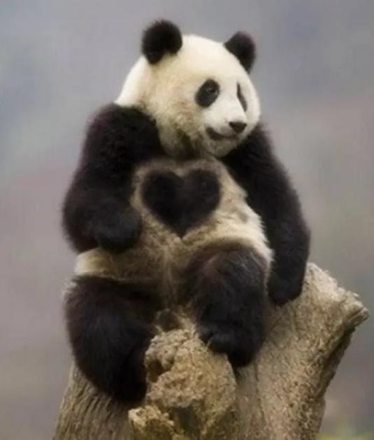 ハート柄の珍しいパンダ