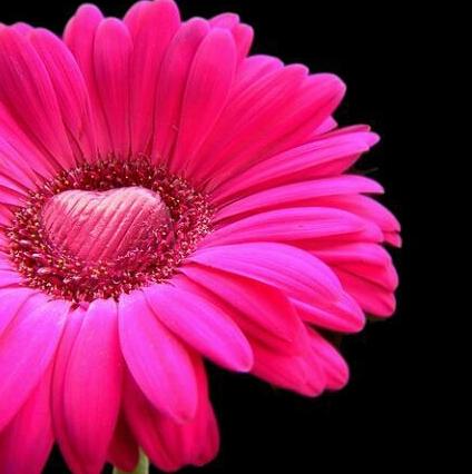 恋愛成就の待ち受け画面「ピンクのガーベラ」